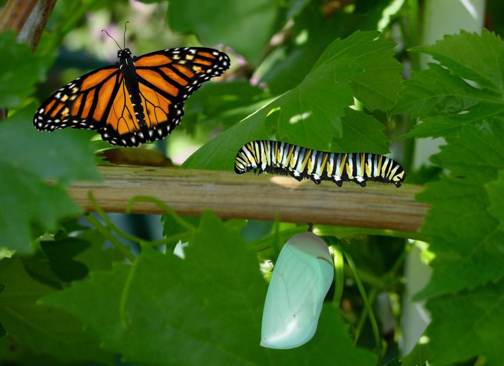 butterfly-caterpillar